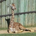 photography_giraffe_508x381